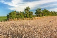 Weizenfeld mit Wallhecke, mit blauem Himmel und Wolken