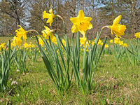 Daffodils in the spring