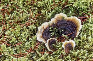 Samtiger Schichtpilz wird mit zunehmenden Alter durch Algen gruenlich - (Samtige Tramete) / Yellowing curtain-Crust gets a greenish paint in old age through algae / Stereum subtomentosum