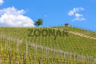 Green vineyards of Piedmont, Italy.