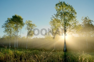 Dramatic Crepuscular Rays in the Foggy Aspen Meadow by the Rice Creek North Regional Trail in Shoreview