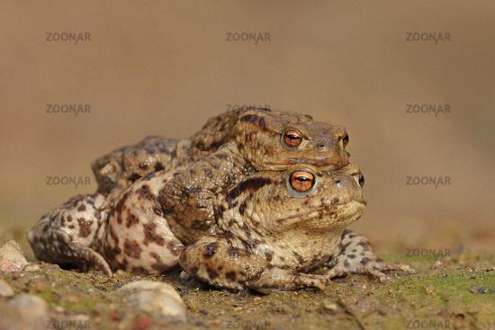Comman toad (Bufo bufo)