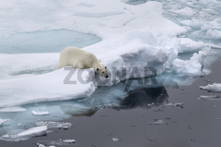 Eisbär auf Packeis, Spitzbergen, Norwegen, Europa / Ursus maritimus
