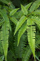 Wild Fern in Tropical wilderness Area