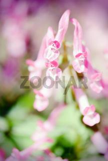 corydalis blossom in springtime