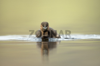 heranschwimmend... Zwergtaucher *Tachybaptus ruficollis*