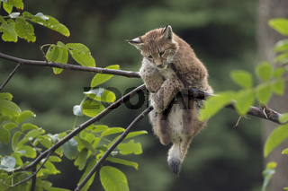 einfach mal abhängen... Eurasischer Luchs *Lynx lynx*