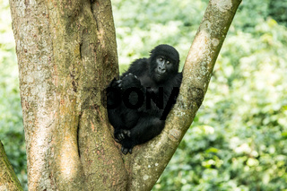 Mountain gorilla in a tree in the Virunga National Park