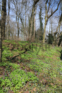 Corydalis cava, Lerchensporn, Hollowroot