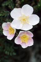 Burnet Rose has in Germany a coastal distribution