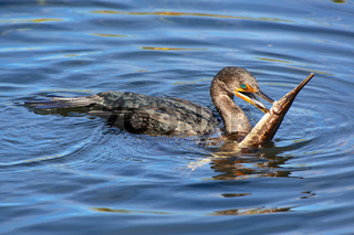 a bird with a fish in the mouth in everglades