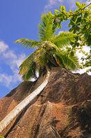 Palmen  und Granitfelsen am Traumstrand Source d`Argent, Insel L