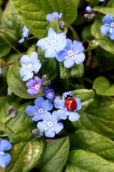 blue-eyed mary with ladybird