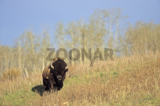 Amerikanischer Bisonbulle wandernt durch die Praerie - (Indianerbueffel - Praeriebison) / American Bison bull crossing the prairie - (American Buffalo - Plains Bison) / Bison bison - Bison bison (bison)