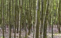 Dünne Baumstämme Hintergrund