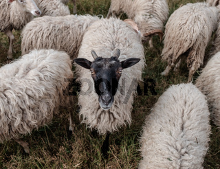 Flock of sheep.