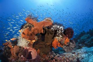 Verschiedene Schwaemme am Riff, Indonesien