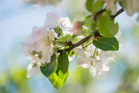 Blossom of apple tree, macro