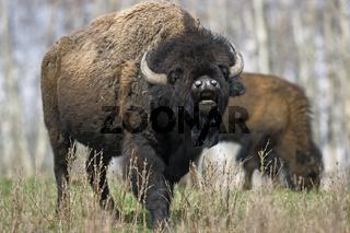Amerikanischer Bisonbulle steht flehmend in der Praerie - (Indianerbueffel - Bueffel) / American Bison bull standing scenting in the prairie - (American Buffalo - Plains Bison) / Bison bison - Bison bison (bison)