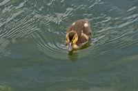 Dark Mallard fledgling