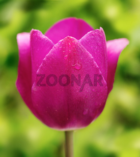 Purple tulip.