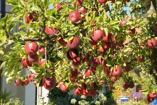 Malus domestica Gloster, Apfel, Apple