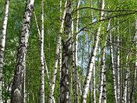 Beautiful spring birch