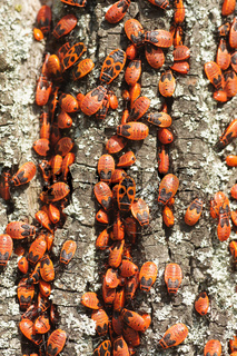Phyrrhocoris apterus, Feuerwanze, Firebug