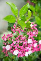 Rhododendron-Azalee bud