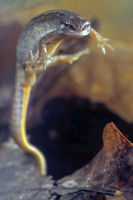 Smooth Newt take around three years to become sexually mature