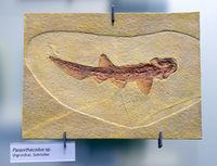 Versteinerung eines Urgrundhai (Paraorthacodus spec.), Museum fü