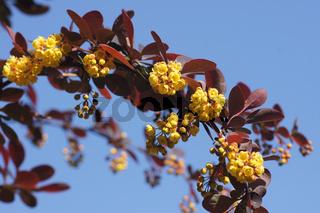 Berberis x thunbergii Atropurpurea, Blutberberitze, Red-leaved barberry