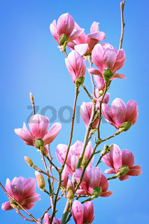 Magnolia Flowers against the Sky