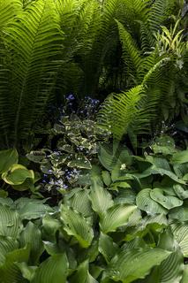 Plant with decorative and ornamental foliage - Hosta, Ostrich Fern