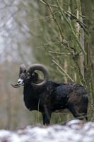 Mouflon rams still hunted for their trophy horns