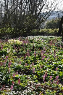 Anemone nemorosa, Corydalis cava, Primula elatior