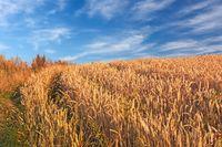 Weizenfeld mit blauem Himmel und Wolken