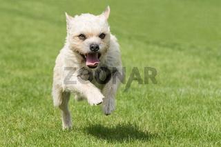 Westhighland White Terrier Hund im Sprung