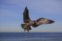 Black seagull flying on the hermosa beach