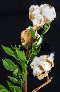 Ast einer Baumwollpflanze mit geöffneten Samenkapseln