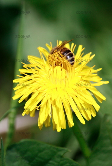 Bee in flower dandelion
