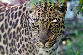 a wonderful leopard at the kruger national park south africa
