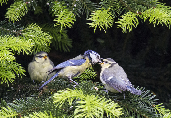European Blue Tit