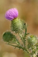 Mary thistle