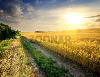 Wheat under sunlight