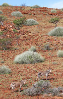 mountain zebras in the landscape of Namibia, Palmwag concession