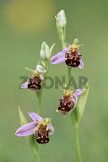 Bienen-Ragwurz, Ophrys apifera