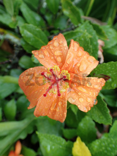 Rain drops on a red-orange blossoms Hibiscus in bloom