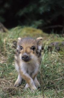 Frischling beobachtet aufmerksam den Fotografen - (Wildschwein - Schwarzwild) / Wild Boar piglet observing alert the photographer - (Wild Hog - Feral Pig) / Sus scrofa