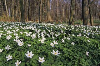 Buschwindroeschen bildet teilweise grosse Bluetenteppiche in noch unbelaubten Laubwaeldern - (Hexenblume - Geissenbluemchen) / Wood Anemone is an early-spring flowering plant - (Windflower - Thimbleweed) / Anemone nemorosa